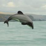 Nur 20 Jahre für Rettung der Maui-Delfine Neuseelands